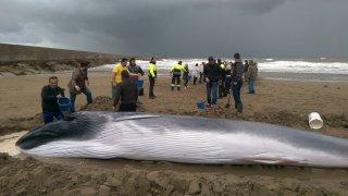 Voluntarios hidratando a la ballena encontrada en Ayamonte, Huelva.