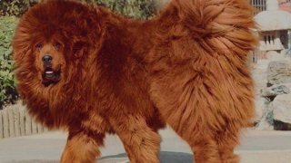 El perro más caro del mundo.