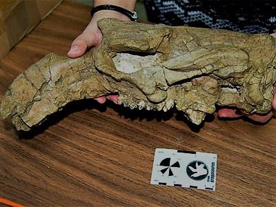 Paleontólogos vascos encuentran restos de la vaca marina más antigua del oeste de Europa