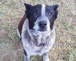Max, el perro pastor ganadero australiano que se ha hecho famoso