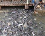 Pangas en el río Mekong, uno de los más contaminados