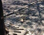 Parte de la acera levantada por un árbol. Pedro Serrano